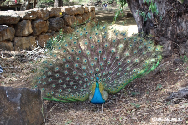 Peacock at Casela, Mauritius